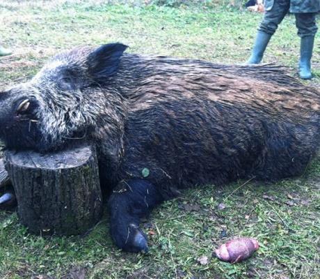 Хванаха лясковчани с убито прасе